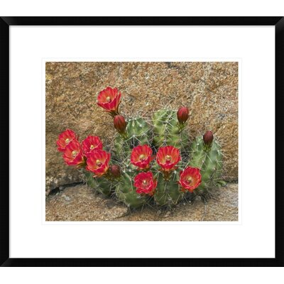 "Claret Cup Cactus Flowering, Utah by Tim Fitzharris Framed Photographic Print Size: 19.28"" H x 22"" W x 1.5"" D DPF-396008-16-266"