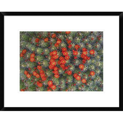 "Claret Cup Cactus Detail of Flowers in Bloom, North America by Tim Fitzharris Framed Photographic Print Size: 17.36"" H x 22"" W x 1.5"" D DPF-452103-16-266"