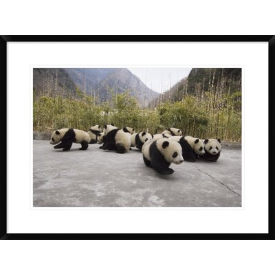 'Giant Panda Cubs' Framed Photographic Print DPF-453025-1624-266