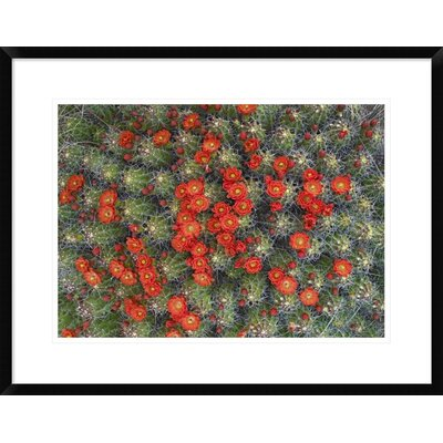 "Claret Cup Cactus Detail of Flowers in Bloom, North America by Tim Fitzharris Framed Photographic Print Size: 21.62"" H x 28"" W x 1.5"" D DPF-452103-22-266"