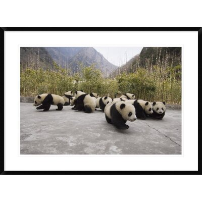 'Giant Panda Cubs' Framed Photographic Print DPF-453025-2030-266
