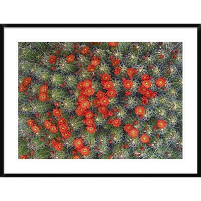 "Claret Cup Cactus Detail of Flowers in Bloom, North America by Tim Fitzharris Framed Photographic Print Size: 31.56"" H x 42"" W x 1.5"" D DPF-452103-36-266"