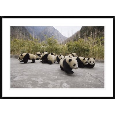 'Giant Panda Cubs' Framed Photographic Print DPF-453025-2436-266