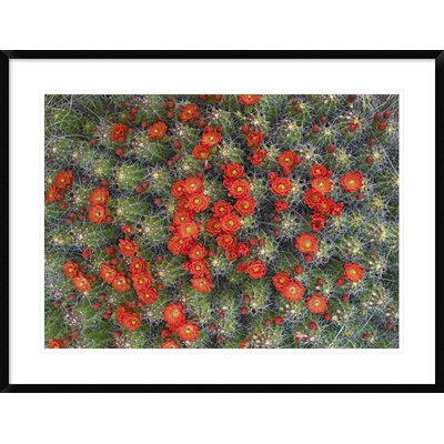 "Claret Cup Cactus Detail of Flowers in Bloom, North America by Tim Fitzharris Framed Photographic Print Size: 27.3"" H x 36"" W x 1.5"" D DPF-452103-30-266"
