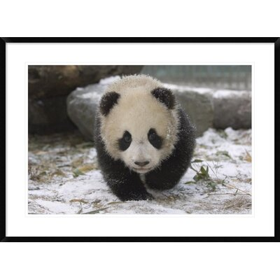 'Giant Panda Cub Approaching' Framed Photographic Print DPF-453023-2030-266
