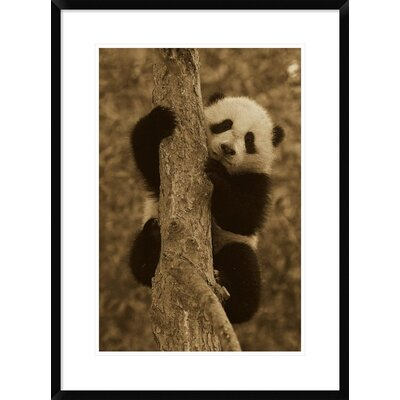 'Giant Panda Cub' Framed Photographic Print DPF-453666-1624-266
