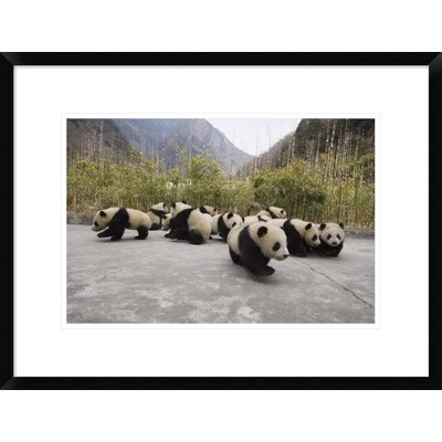 'Giant Panda Cubs' Framed Photographic Print DPF-453025-1218-266