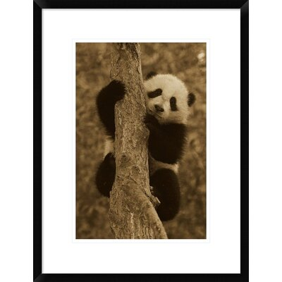 'Giant Panda Cub' Framed Photographic Print DPF-453666-1218-266