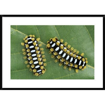 "'Cup Moth Two Caterpillars on Leaf' Framed Photographic Print Size: 26"" H x 36"" W x 1.5"" D DPF-453597-2030-266"