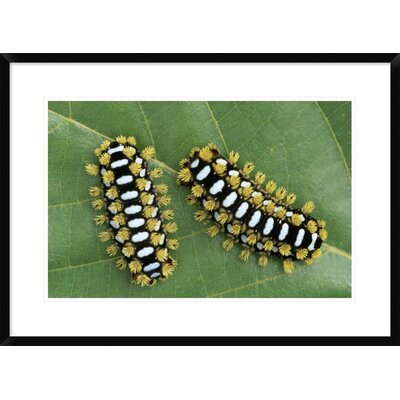 "'Cup Moth Two Caterpillars on Leaf' Framed Photographic Print Size: 22"" H x 30"" W x 1.5"" D DPF-453597-1624-266"
