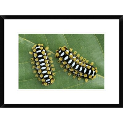 "'Cup Moth Two Caterpillars on Leaf' Framed Photographic Print Size: 18"" H x 24"" W x 1.5"" D DPF-453597-1218-266"
