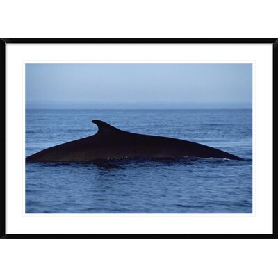 'Fin Whale Silhouetted Dorsal Fin, Baja California, Mexico' Framed Photographic Print DPF-450570-2436-266 Wall Art