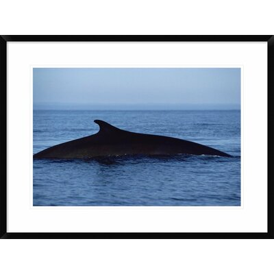 'Fin Whale Silhouetted Dorsal Fin, Baja California, Mexico' Framed Photographic Print DPF-450570-1624-266 Wall Art