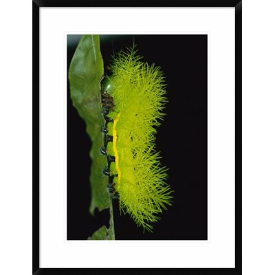 'Cup Moth Caterpillar Has Poisonous Spines for Protection, Barro Colorado Island, Panama' Framed Photographic Print DPF-398561-1218-266 Wall Art