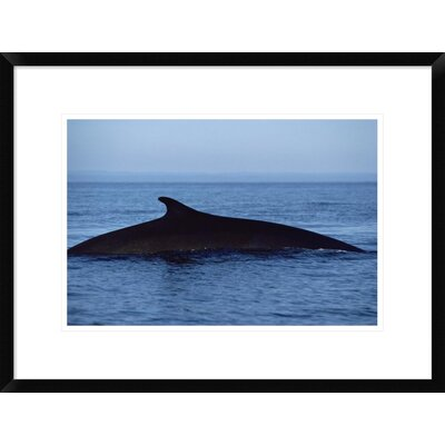 'Fin Whale Silhouetted Dorsal Fin, Baja California, Mexico' Framed Photographic Print DPF-450570-1218-266 Wall Art
