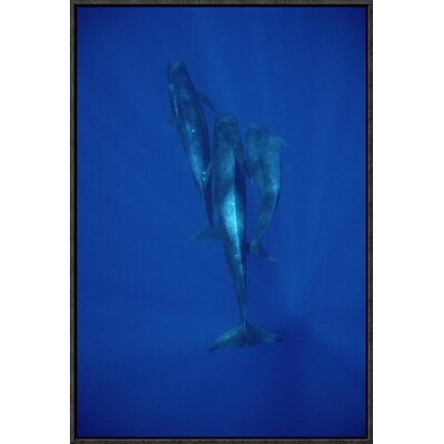 'Short-Finned Pilot Whale Trio Underwater, Hawaii' Photographic Print EAAC8943 39227754