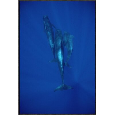 'Short-Finned Pilot Whale Trio Underwater, Hawaii' Photographic Print EAAC8943 39227756