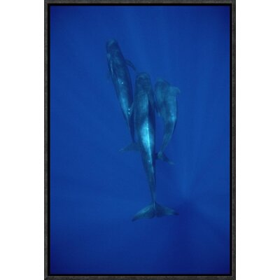 'Short-Finned Pilot Whale Trio Underwater, Hawaii' Photographic Print EAAC8943 39227753