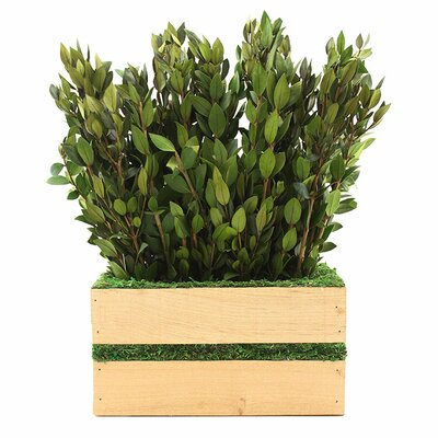 Preserved Myrtle Hedge Foliage Size: 15 H x 9 W x 4.5 D