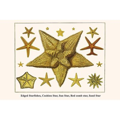 'Edged Starfishes Cushion Star Sun Star Red Comb Star Sand Star' by Albertus Seba Graphic Art Size: 36