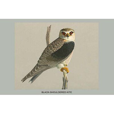 "'Black Shouldered Kite' by Louis Agassiz Fuertes Graphic Art Size: 20"" H x 30"" W x 1.5"" D"