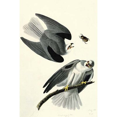 "'White Tailed Kite' by John James Audubon Graphic Art Size: 36"" H x 24"" W x 1.5"" D"