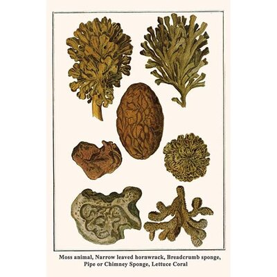 'Moss Animal Narrow Leaved Hornwrack Breadcrumb Sponge Pipe' by Albertus Seba Graphic Art 0-587-29841-3C2842