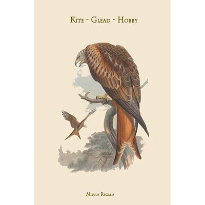'Milvus Regalis Kite Glead Hob'by by John Gould Graphic Art 0-587-31380-3C2842