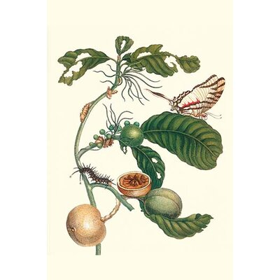 "'Coffee Tree Leaf with A Glaucolaus Kite Swallowtail Butterfly' by Maria Sibylla Merian Graphic Art Size: 30"" H x 20"" W x 1.5"" D"