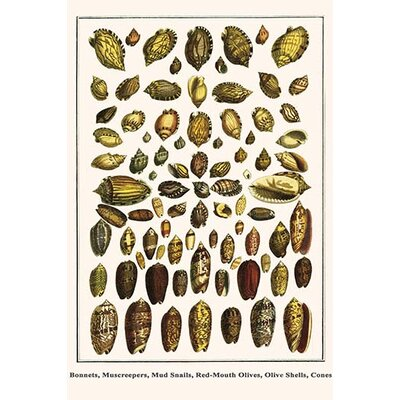 'Bonnets Muscreepers Mud Snails Red-Mouth Olives Olive Shells Cones' by Albertus Seba Graphic Art Size: 42