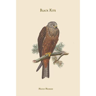'Milvus Migrans Black Kite' by John Gould Graphic Art 0-587-31381-1