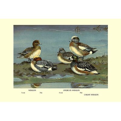 Widgeon Ducks by Allan Brooks Graphic Art