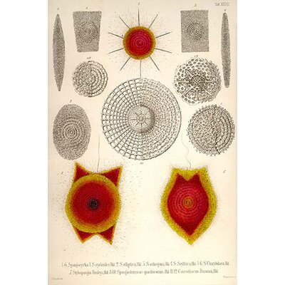 'Sponge Type Radiolaria and Coccodiscus Darwinii' Graphic Art Print 0-587-64528-LC2436