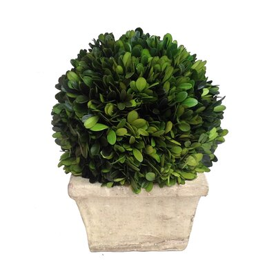 "Boxwood Ball Desk Top Plant in Planter Size: 11"" H x 9"" W x 9"" D"