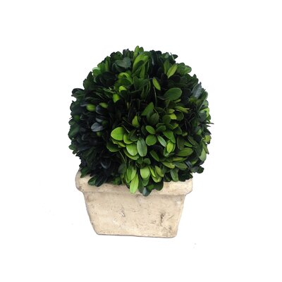 "Boxwood Ball Desk Top Plant in Planter Size: 8"" H x 6"" W x 6"" D"