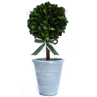 Preserved Laurel Floor Topiary in Pot Size: 16