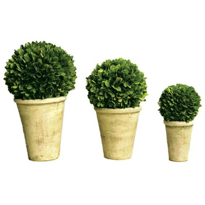 3 Piece Boxwood Ball Set in Pots