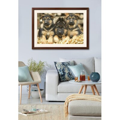 "'German Shepherd Three Puppies' Framed Photographic Print Frame: Gramercy Walnut/Brown Framed, Size: 32"" H x 44"" W 15204054"