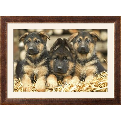 "'German Shepherd Three Puppies' Framed Photographic Print Frame: Highland Walnut/Brown Framed, Size: 34"" H x 46"" W 15204057"