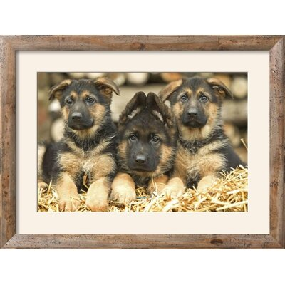 "'German Shepherd Three Puppies' Framed Photographic Print Frame: Rustica Tan/Brown Framed, Size: 24"" H x 32"" W 15204053"