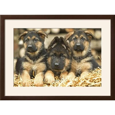 "'German Shepherd Three Puppies' Framed Photographic Print Frame: Soho Espresso/Brown Framed, Size: 23"" H x 31"" W 15204050"