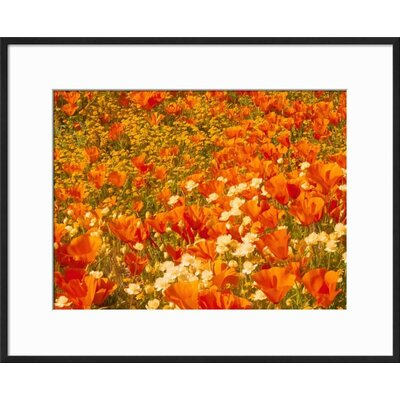 """'Poppies and Cream Cups, Antelope Valley, California, USA' Framed Photographic Print Frame: Ronda Ii Black Framed, Size: 17"""" H x 21"""" W C6CB3737D2194DFF9EA4770328D015D1"""