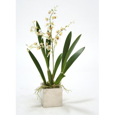Oncidium Orchid in Square Nickle Planter (Set of 2) Flower Color: White
