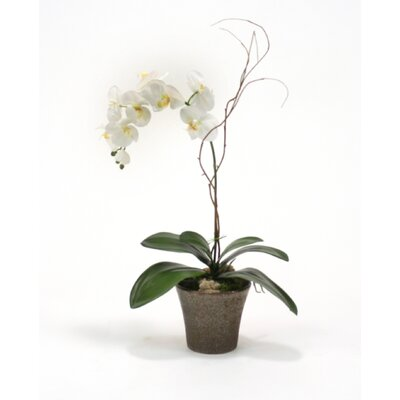Cream-White Phalaenopsis Orchid Plant in Orchid Pot (Set of 2)