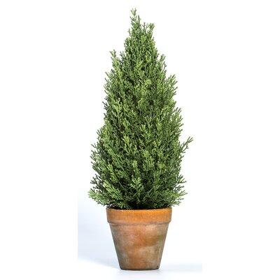 Pine Topiary in Pot