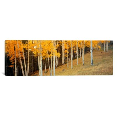 Panoramic Aspen Trees in a Field, Colorado, USA Photographic Print on Canvas Size: 16