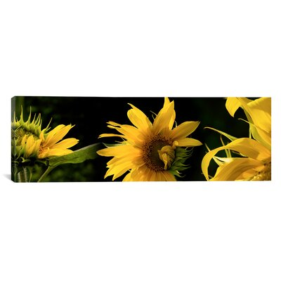 Panoramic Sunflowers Photographic Print on Canvas Size: 30