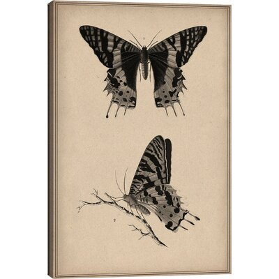 Animal Art Vintage Butterfly Scientific Drawing Painting Print on Canvas Size: 60