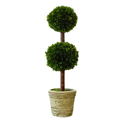 Beyer Preserved Boxwood Topiary Size: 30
