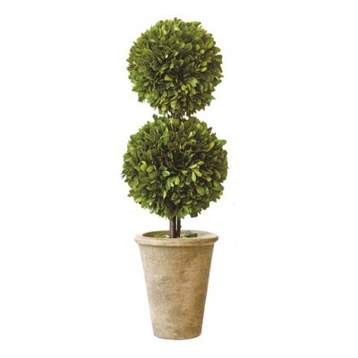 Beyer Preserved Boxwood Topiary Size: 20
